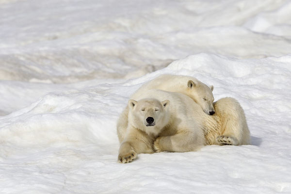 Polar bear (Ursus maritimus) female with young, age one year and a half, resting on the ice, Wrangel island, Far East Russia