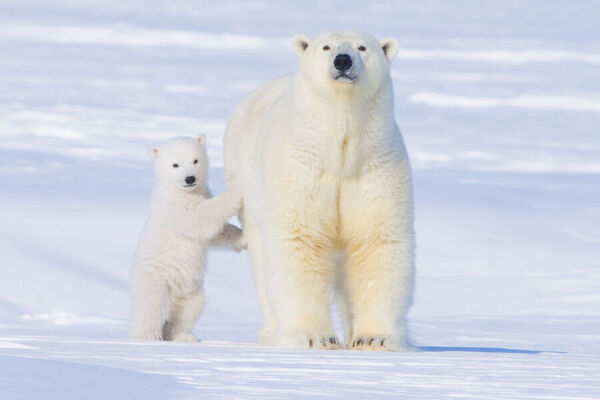 Polar bear (Ursus maritimus) sow standing with her cub outside their den in late winter, Arctic coast of Alaska