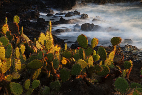 "Pricklepear (Opuntia sp.) growing on coastline, Socorro Island, Revillagigedo Archipelago National Park (Socorro Islands), Pacific Ocean, Western Mexico, November, Honorary Mention in the third national contest ""Visions of"