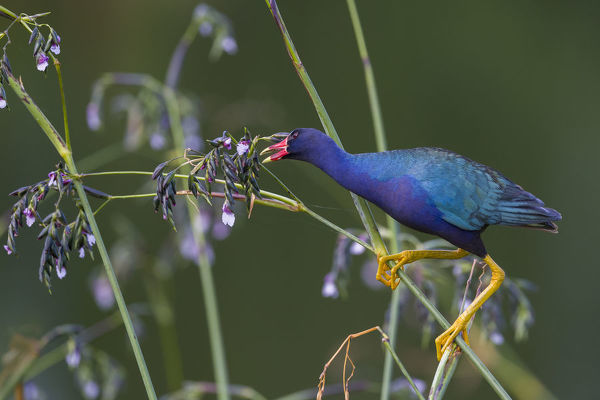 Purple gallinule (Porphyrio martinicus) reaches for giant bulrush (Schoenoplectis californicus) seeds. Wakodahatchee Wetlands, Florida, USA, April