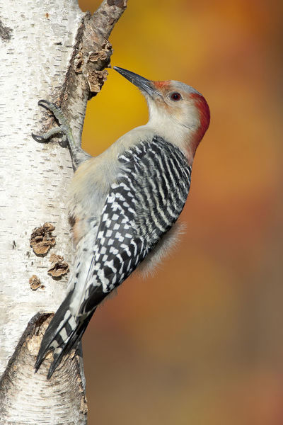 Red-bellied Woodpecker (Melanerpes carolinus), female perched on birch trunk in autumn