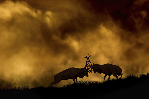 Red deer (Cervus elaphus) stags fighting at dusk during rutting season, Cheshire, UK October
