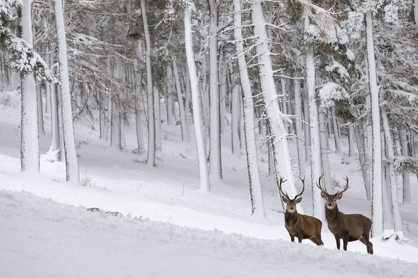 Red Deer stag (Cervus elaphus) in snow-covered pine forest, Cairngorms National Park, Scotland, UK. December