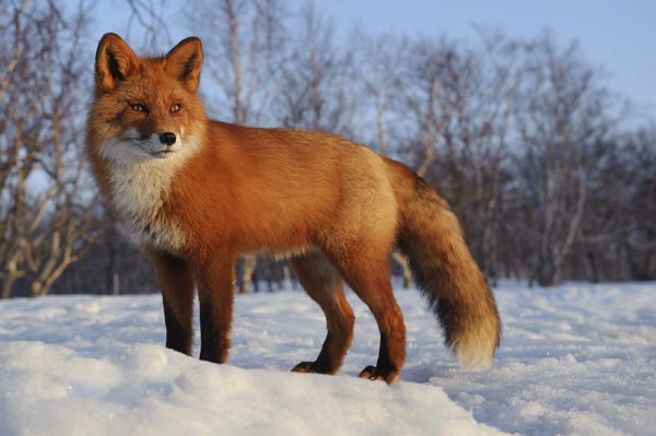 Red fox (Vulpes vulpes) portrait in snow, Kamchatka, Far east Russia, April