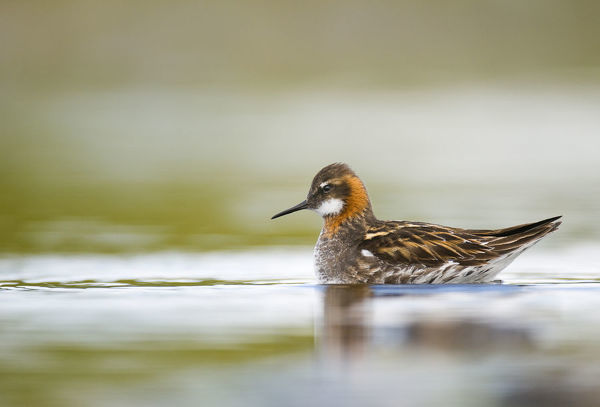 Red-necked phalarope (Phalaropus lobatus) male on the water. Shetland Islands, Scotland, UK, August (non-ex)