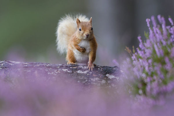 Red squirrel (Sciurus vulgaris) on trunk surrounded by heather, Cairngorms National Park, Scotland, UK, August