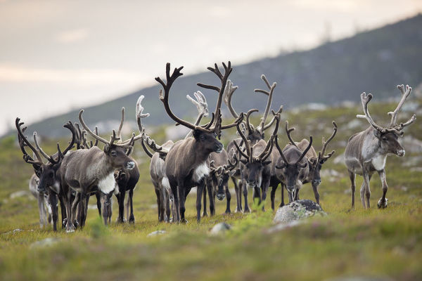 Reindeer (Rangifer tarandus) herd, antlers in velvet, walking across upland moor, Cairngorms, Scotland, UK, August