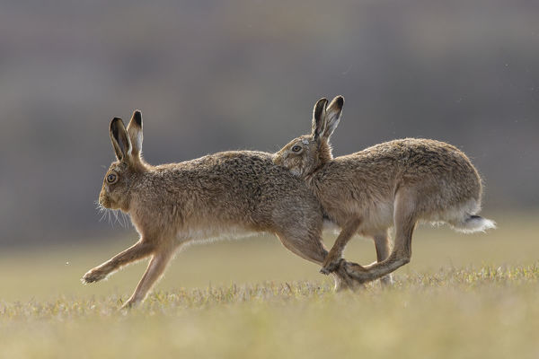 RF - Brown hare, (Lepus europaeus) male pursuing female that is in season, Islay, Scotland, UK