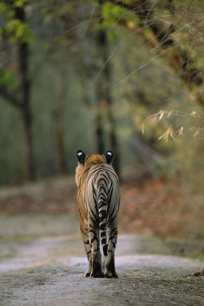 RF- Rear view of male Bengal tiger (Panthera tigris tigris) walking on track. Bandhavgarh National Park, India. Endangered species