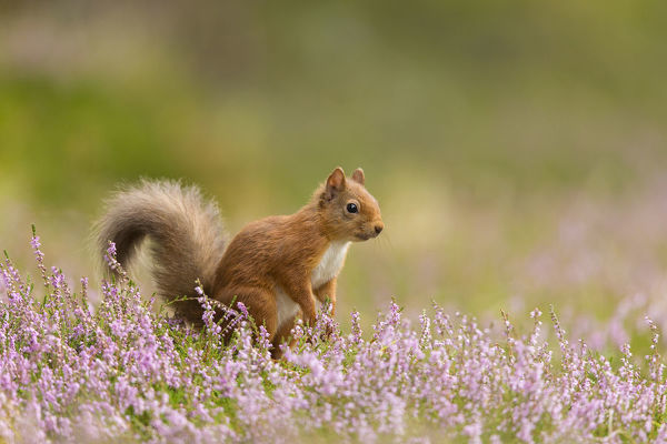 RF - Red squirrel (Sciurus vulgaris) in summer coat amongst heather, Cairngorms National Park, Scotland, UK, August