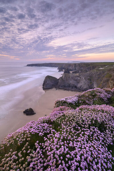 RF - Thrift (Armeria maritima) flowering on cliff top with beach below, at sunset