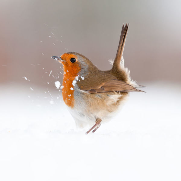 Robin (Erithacus rubecula) displaying in snow, nr Bradworthy, Devon, UK. December 2010, HIGHLY COMMENDED, ANIMAL PORTRAITS, 2011 WILDLIFE PHOTOGRAPHER OF THE YEAR COMPETITION