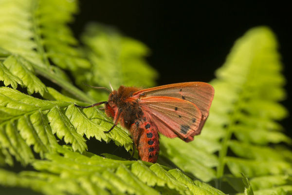 Ruby tiger moth (Phragmatobia fuliginosa) on fern, Sheffield, England, UK, August