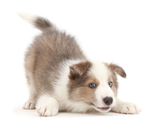 Sable And White Border Collie Puppy Age 8 Weeks In Play Bow