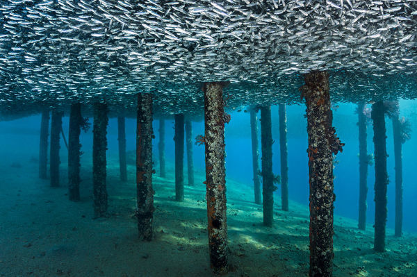 School of Silversides (Atherinomorus lacunosus) mass below a jetty, creating a false