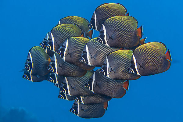 School of White collar butterflyfish (Chaetodon collare) pack together above a coral reef