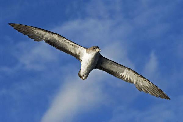 Scopoli's shearwater (Calonectris diomedea) in flight. Tenerife, Canary Islands