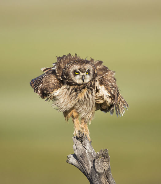 Short-eared Owl (Asio flammeus) shaking after preening while perched on fencepost