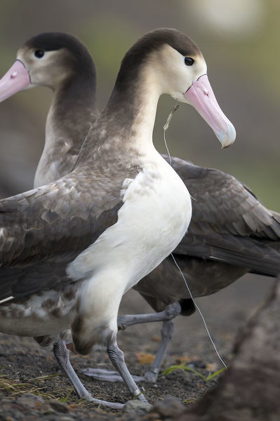 Short tailed albatross (Phoebastria albatrus) subadult with fish-hook and monofilament