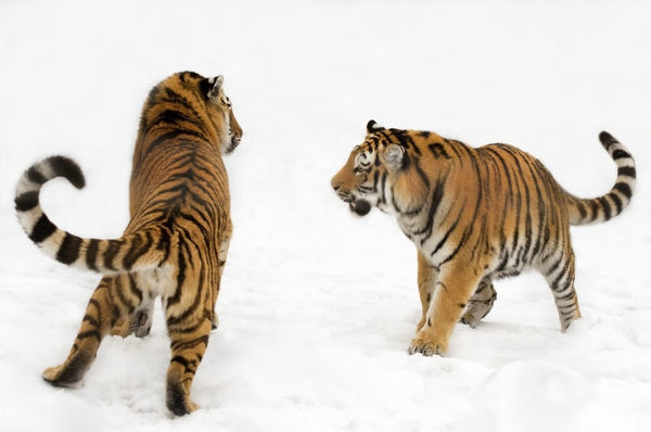Two Siberian tigers (Panthera tigris altaica) play-fighting in the snow, captive