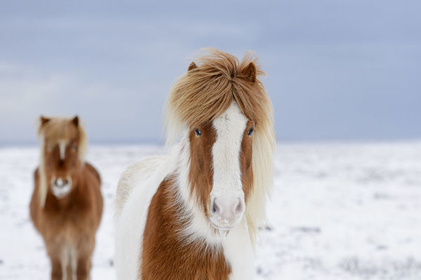Skewbald and chestnut Icelandic horses in the snow, Snaefellsnes Peninsula, Iceland, March