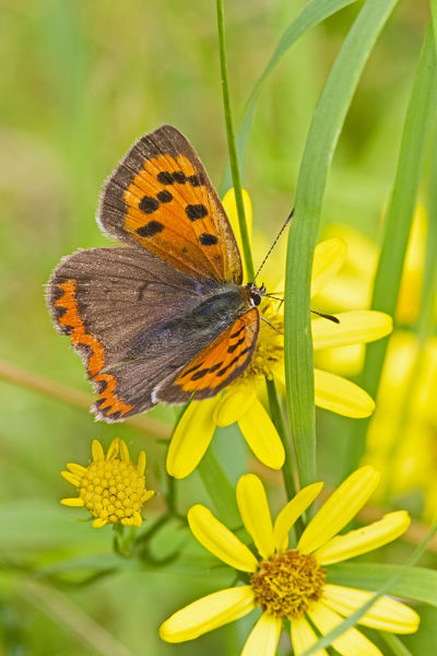 Small copper butterfly (Lycaena phlaeas) on common ragwort, Brockley Cemetery, Lewisham, London, England, UK, August