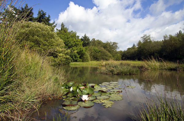 Small pond with aquatic and marsh plants, including European White Waterlily (Nymphaea alba), West Harptree woods, Mendip Hills, Somerset, UK, August
