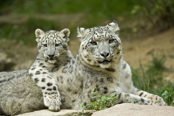 Snow leopard mother (Uncia uncia) with cub, captive, occurs in mountains of central and southern Asia