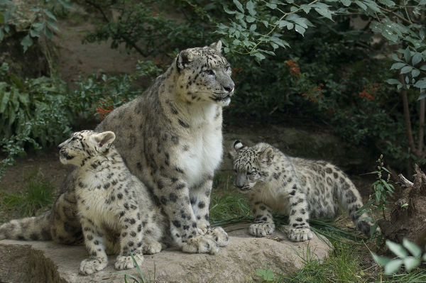 Uncia uncia Art print POSTER Playing CANVAS Snow Leopard Cubs