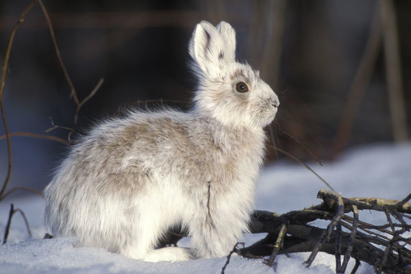 Snowshoe hare (Lepus americanus) adult with coat changing into summer colors, south