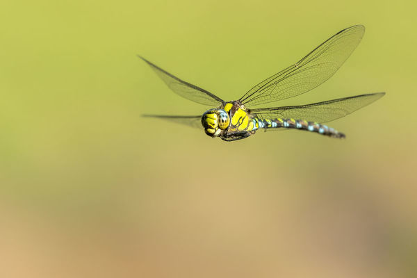 Southern hawker (Aeshna cyanea) dragonfly in flight, Broxwater, Cornwall, UK. August