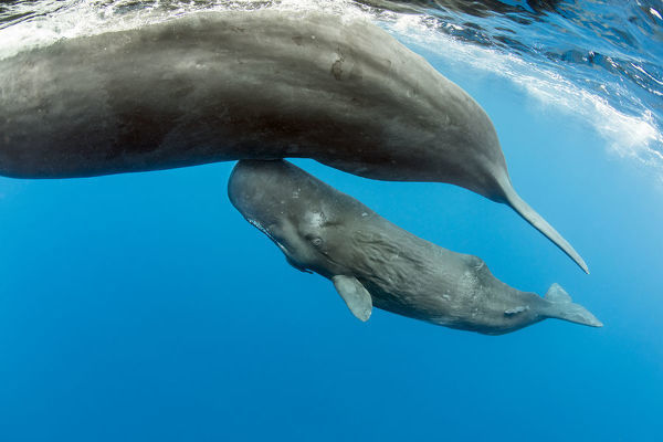 Sperm whales in the caribbean