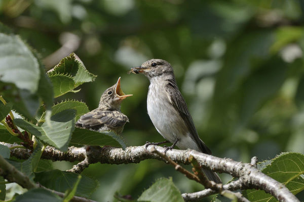 Spotted flycatcher (Muscicapa striata) feeding a chick which has just left its nestbox