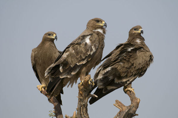 Three Steppe Eagles (Aquila nipalensis) perched, Rajasthan, India