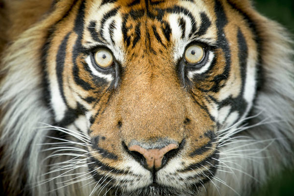 Sumatran tiger (Panthera tigris tigris / Panthera tigris altaica) close up portrait, captive