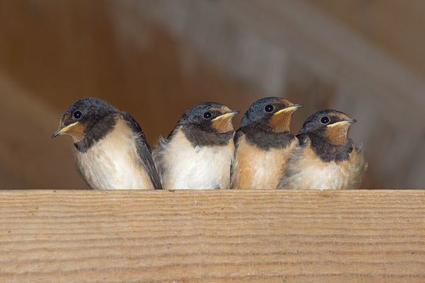Swallows (Hirundo rustica) group of four chicks waiting to be fed, Norfolk, England, UK, August