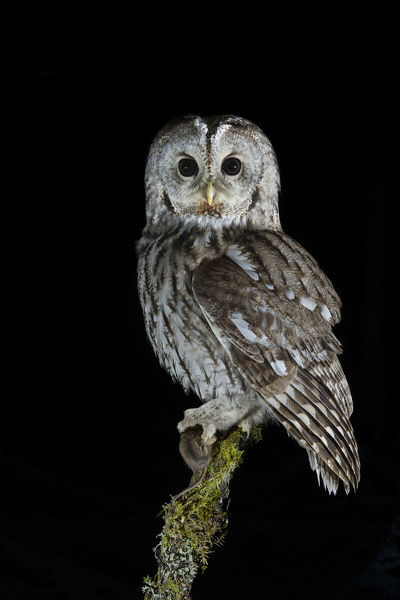 Tawny Owl Strix aluco perched on branch with prey at