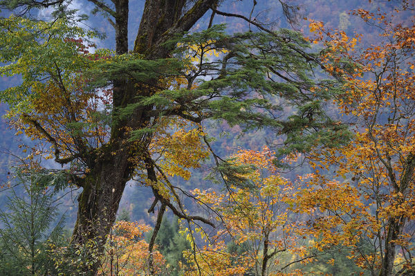 Tree biodiversity in autumn colours, Humid montane mixed forest, Laba He National Nature Reserve, Sichuan, China