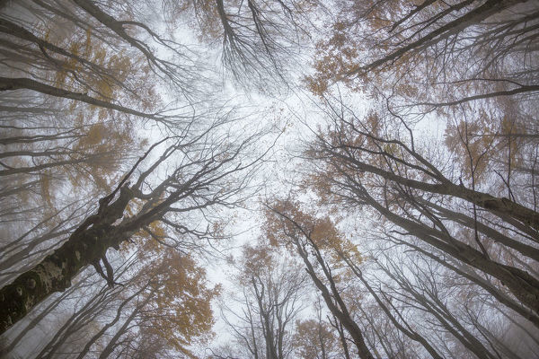 View upwards to canopy of a Beech woodland (Fagus sylvatica) in autumn. Plitvice Lakes National Park, Croatia. October