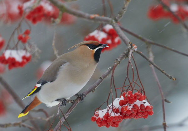 Waxwing (Bombycilla garrulus) perching near berries, Kuusamo, Finland, November