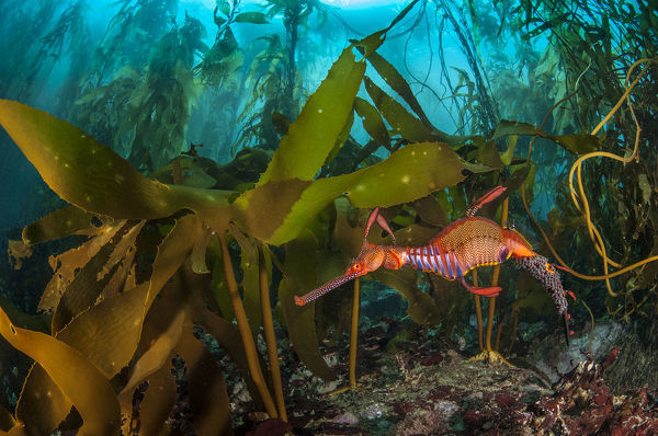 Weedy seadragon (Phyllopteryx taeniolatus) male carries eggs through a kelp forest