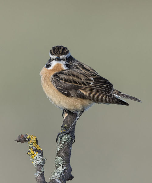 Whinchat (Saxicola rubetra), male perched, Finland, May