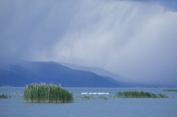 White pelicans (Pelecanus erythrorhynchos) at Bear River Migratory Bird Refuge with an approaching storm in May, Utah, USA, May