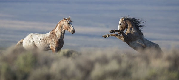 Two wild Mustang stallions fighting in White Mountain Herd Area, Wyoming, USA. August