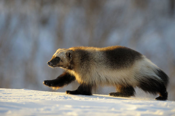 Wolverine (Gulo gulo) walking in the snow