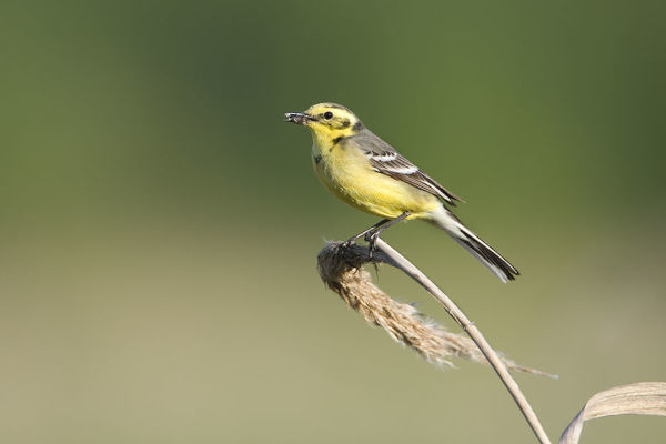 Yellow wagtail (Motacilla flava) adult perched with food for chicks, Lithuania, May 2009