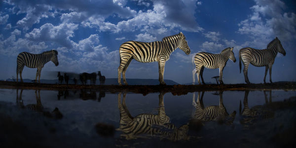 Zebra at waterhole at night, Mkuze, South Africa Third place in the Nature Portfolio category of the World Press Photo Awards 2017