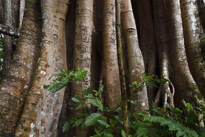 wild wonders china/1000 year old grove banyan fig trees ficus benghalensis