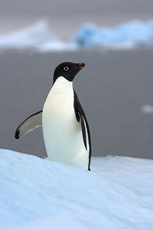 latest highlights/highlights 2009/adelie penguin pygoscelis adeliae glacial ice