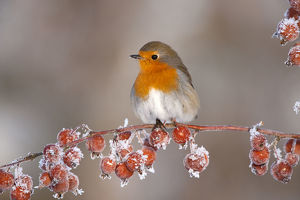 christmas/adult robin erithacus rubecula winter perched